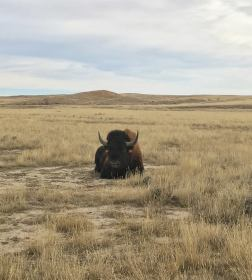 Unofficial World record length Bison horns