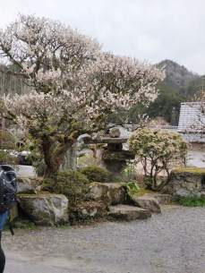 Cherry blossoms in Tsumago