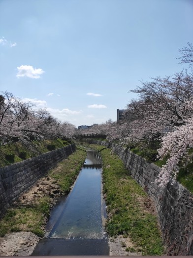 Cherry blossoms next to he river