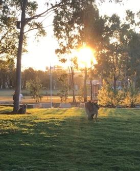 KangarooUSC