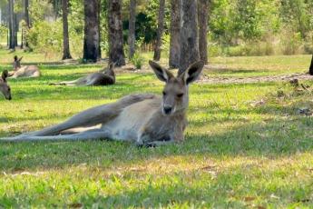 kangaroo[1]
