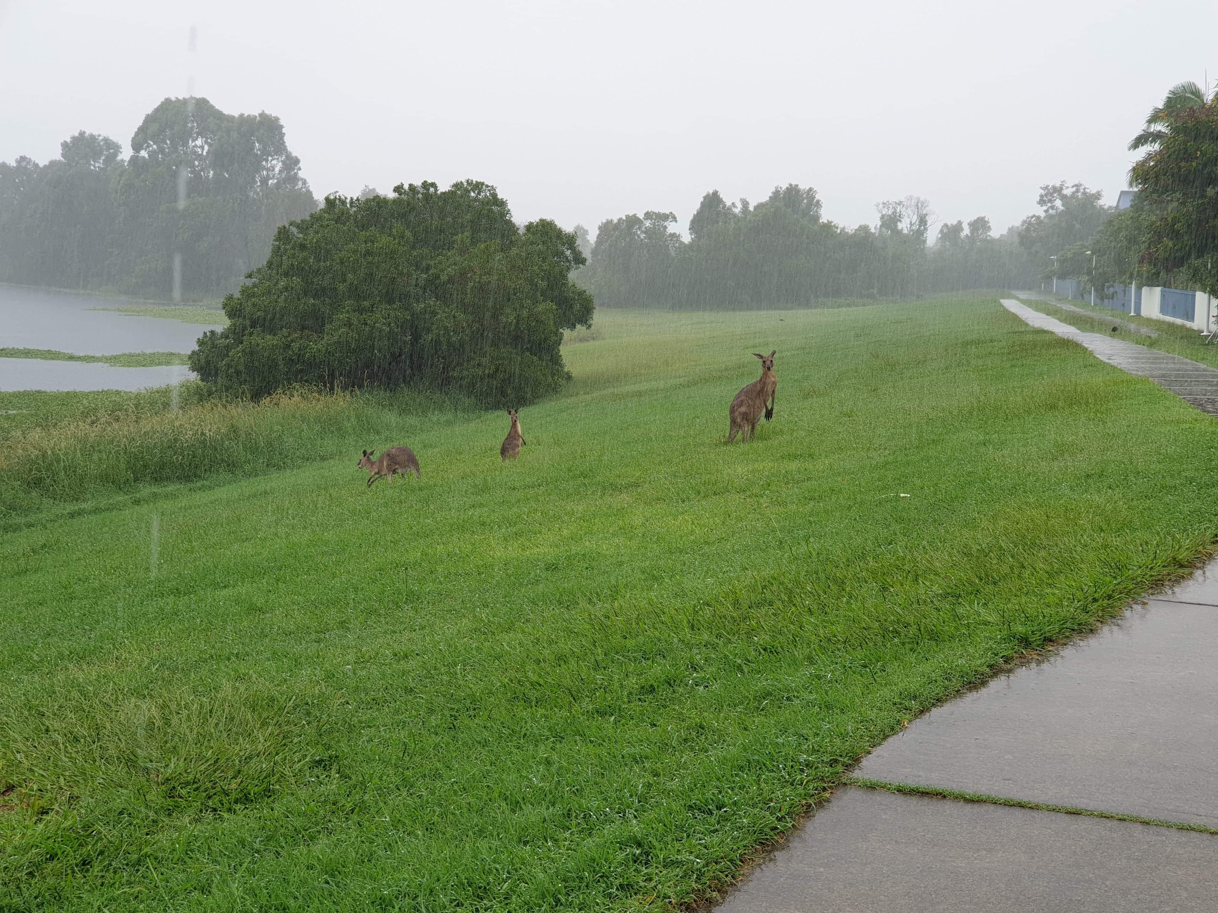Kangaroos_in_best_australian_weather_near_UniCentral